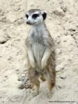 meerkat-suricatasuricatta